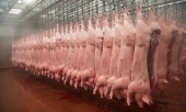 Pig-carcasses-hanging-in-009